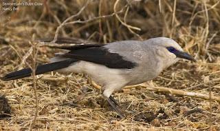 corvido de zavattari Zavattariornis stresemanni aves de Etiopia en peligro de extincion