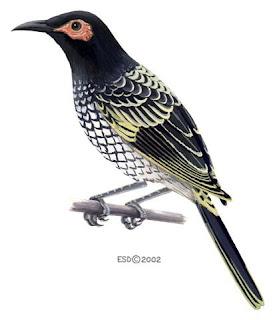 mielero regente Xanthomyza phrygia aves de Australia en peligro de extincion
