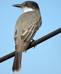 tirano cubano Tyrannus cubensis aves de Cuba en peligro de extincion