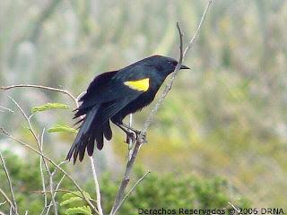 turpial de hombros amarillos Agelaius xanthomus