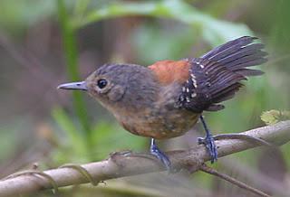 hormiguerito encapuchado Formicivora erythronotos aves de Brasil amenazadas