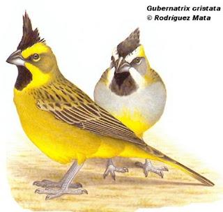 cardenal amarillo Gubernatrix cristata aves de Argentina en peligro de extincion