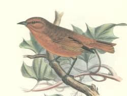 Akepa Loxops coccineus aves en extincion de hawaii