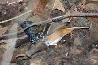 hormiguero festoneado Myrmoderus rufucauda aves extintas en Brasil