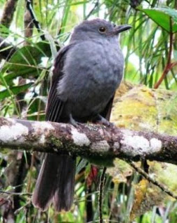 guardabosques antioqueño Lipaugus weberi birds extinct in Colombia