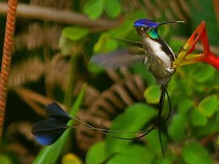 colibri admirable Loddigesia mirabilis