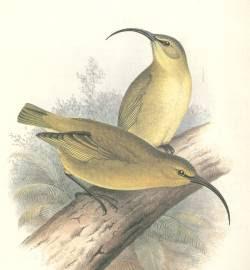 Lesser akialoa