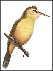Nightingale reed warbler