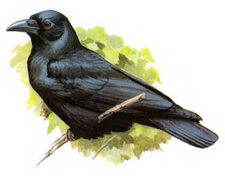 cuervo unicolor Corvus unicolor aves de Indonesia en extincion