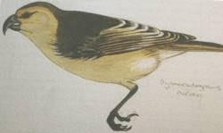 lanai pico de gancho Dysmorodrepanis munroi aves extintas en Hawaii