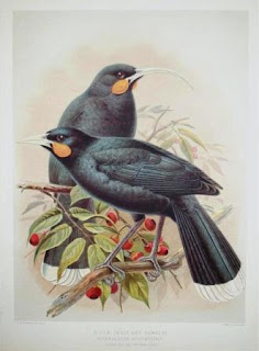 huia Heterolacha acutirostris aves extintas de Nueva Zelanda