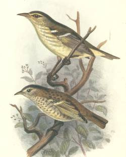 oahu Paroreromyza maculata islands birds extinction