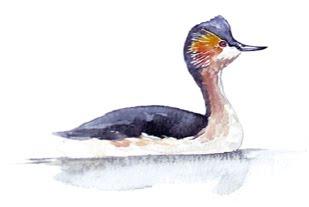zampullin colombiano Podiceps andinus aves extintas en Colombia