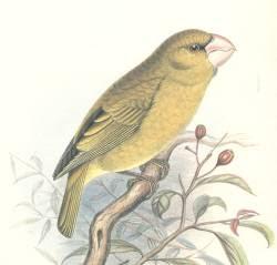 cascanueces de Kona Chloridops kona aves extintas de Hawaii