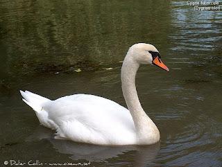Cisne común Cygnus olor