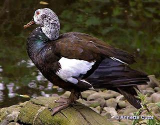 Pato de la jungla Cairina Asarcornis scutulata