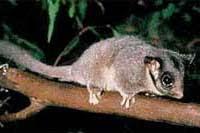 Opossum de Leadbeater Gymnobelideus leadbeateri