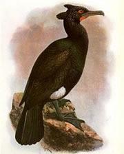 cormoran de Pallas Phalacrocorax perspicillatus aves extintas