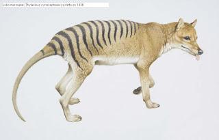lobo marsupial Thylacinus cynocephalus especies extintas