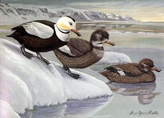 pato de labrador Camptorhynchus labradorius