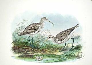 zarapito fino Numenius tenuirostris aves en peligro de extincion