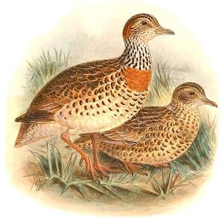 llanero Pedionomus torquatus aves de Australia en peligro de extincion