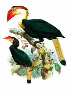 calao de pico torcido Aceros waldeni aves de Filipinas en peligro de extincion Rhabdotorhinus waldeni