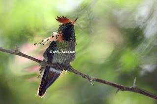 coqueta cresticorta Lophornis brachylophus