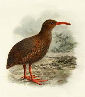 chatamukuina Cabalus modestus birds extinct