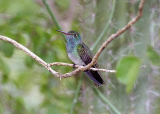 amazilia hondureña Amazilia luciae aves de Honduras en extincion
