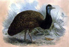 emu negro Dromaius minor ater aves extintas de Australia