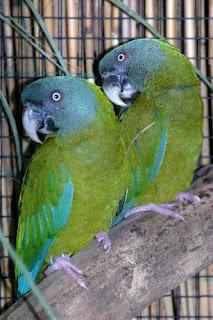 guacamayo cabeza azul Primolius couloni