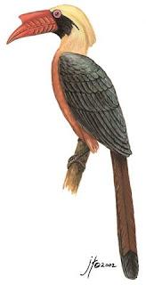 calao chico Penelopides panini aves de Filipinas en extincion