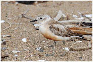 chorlito maori Charadrius obscurus new zealand birds in extinction