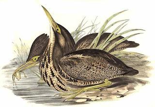 avetoro australiano Botaurus pocioloptilus aves de Oceania en peligro de extincion