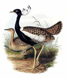 sisón de penacho Sypheotides indicus aves de Asia en peligro de extincion