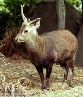 Bawean deer