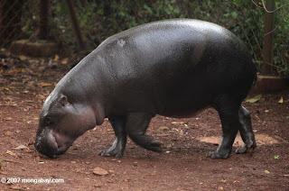 hipopotamo enano Choeropsis liberiensis