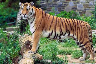 tigre Panthera tigris