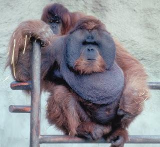 orangutan Pongo pygmaeus