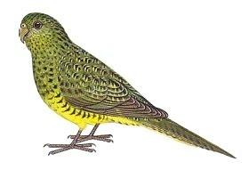 loro nocturno Pezoporus occidentalis Australian birds extinction