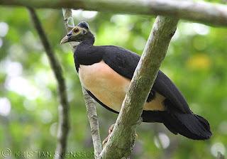 megapodio de cabeza grande Macrocephalon maleo aves de Indonesia en peligro de extincion