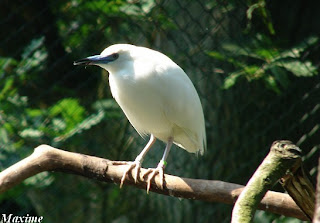 garcilla malgache Ardeola idae aves en peligro de Africa