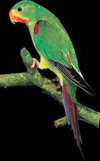 periquito migrador Lathamus discolor