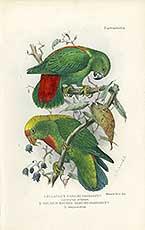 loriculo de Flores Loriculus flosculus