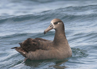 albatros patinegro Phoebastria nigripes birds of Hawaii in extinction