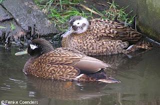 anade de Laysan Anas laysanensis patos en extincion