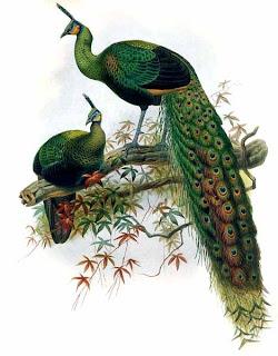 pavo real verde Pavo muticus aves de asia en extincion