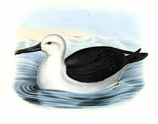 Atlantic yellow nosed albatross