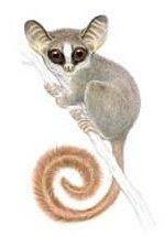 galago Galagoides rondoensis